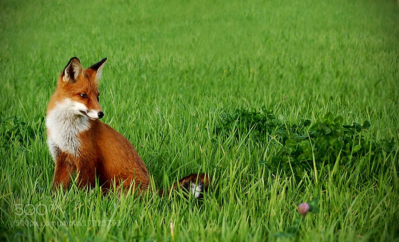 Photograph Swedish Red Fox. by Johan Berglund on 500px