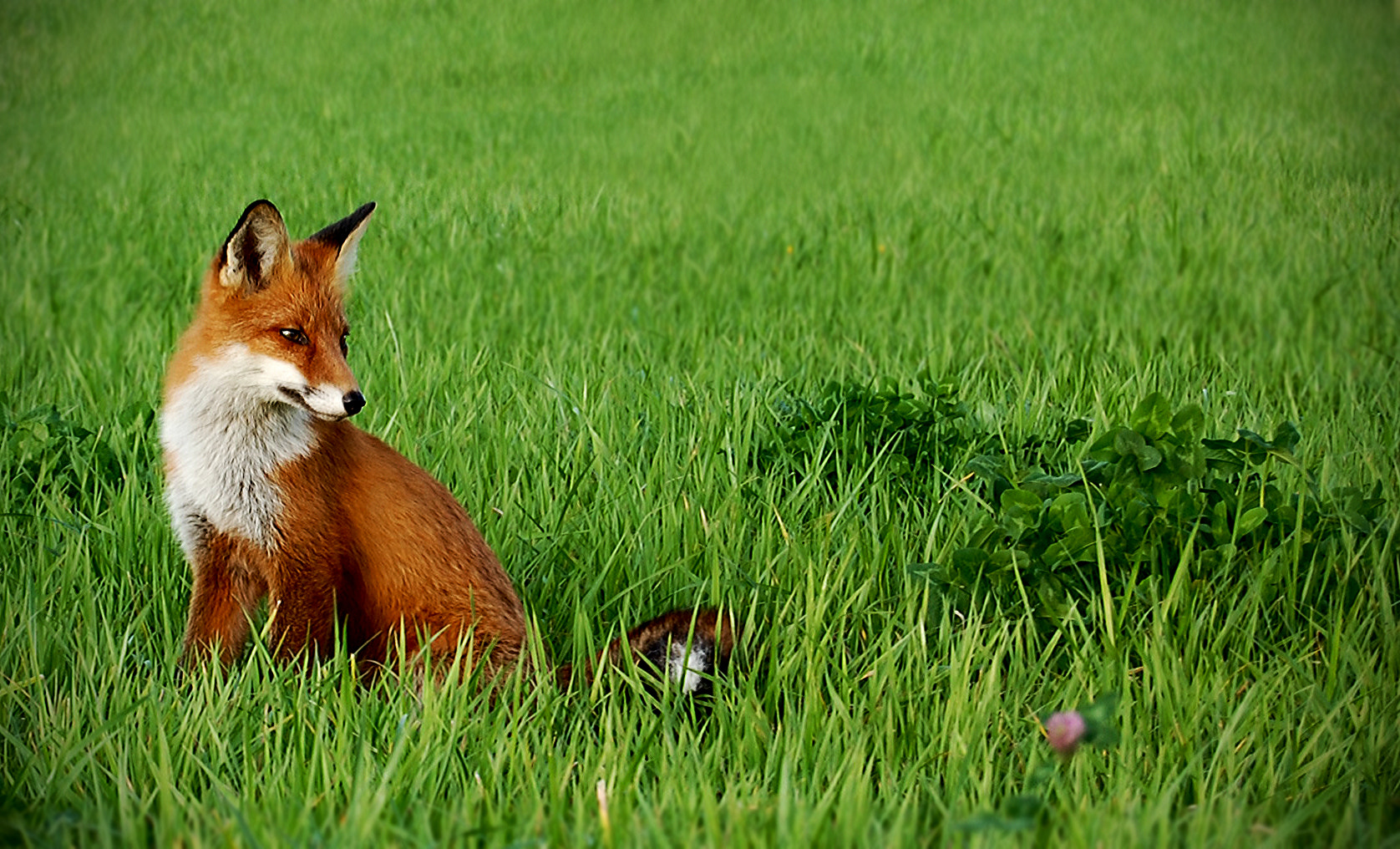 Photograph Swedish Red Fox. by Johan Berglund on 500px