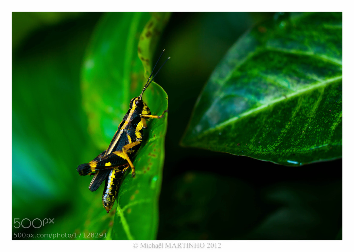 Photograph Grasshopper by Michaël MARTINHO on 500px