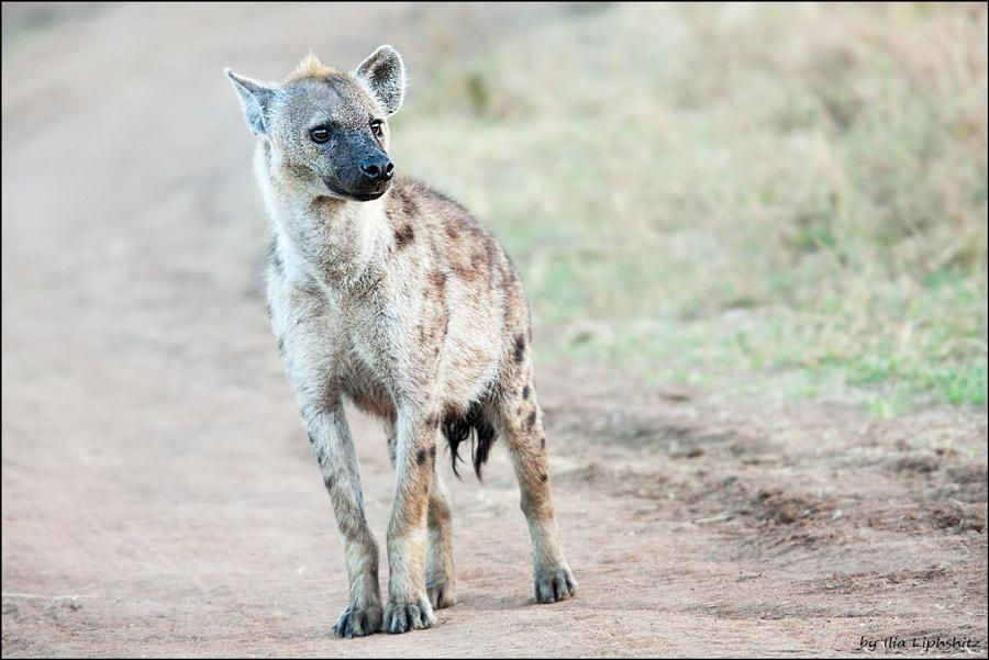 Hyenas of Serengeti №3