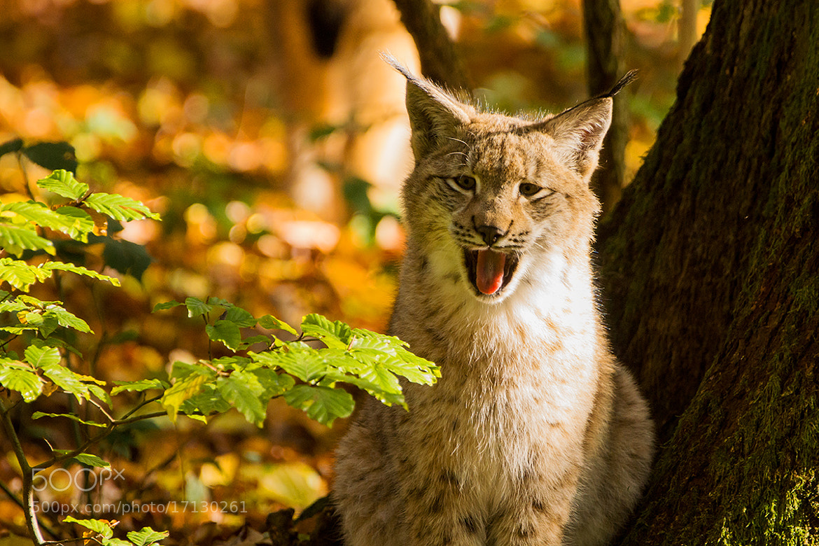 Photograph Roar by Joerg Weinand on 500px