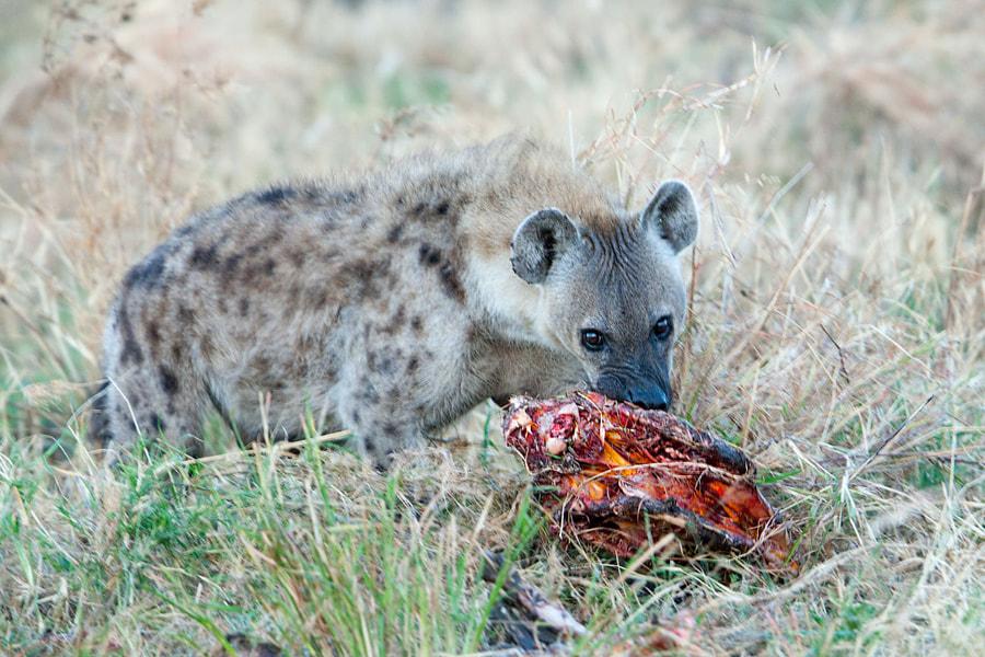 The meal - Hyenas of Serengeti №4