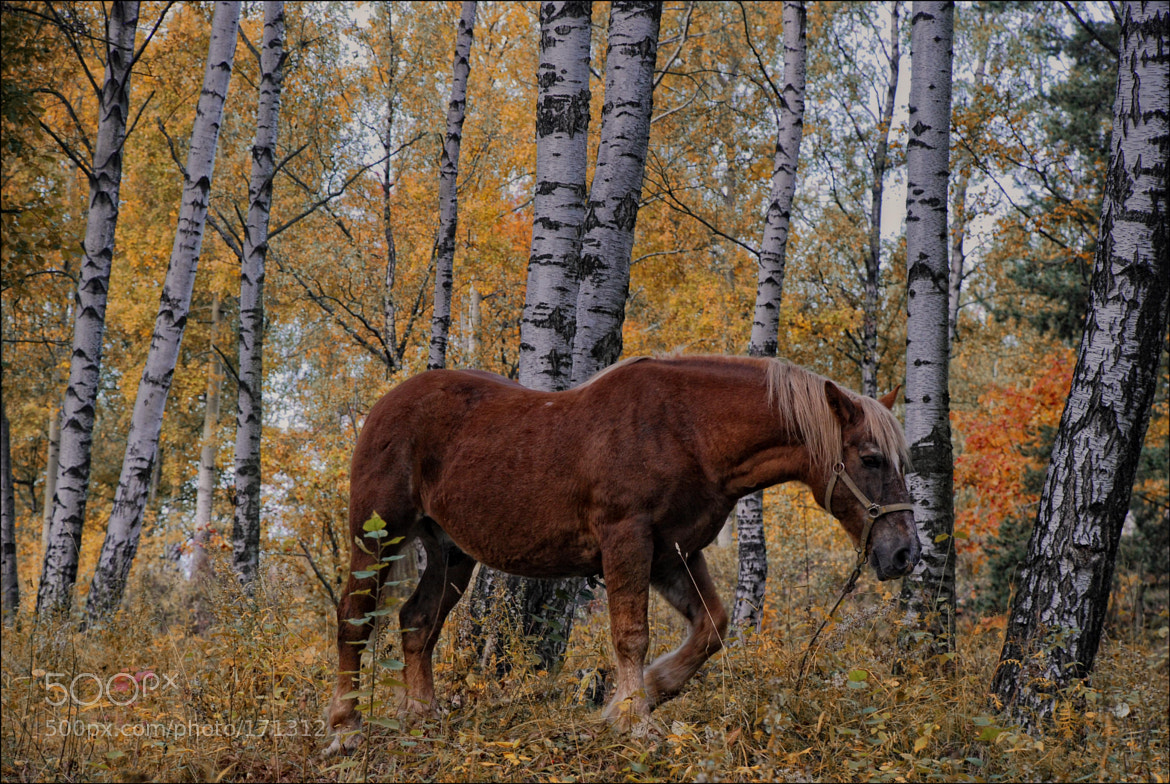Photograph Autumn horse. by Maksim Markov on 500px