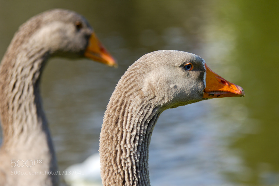 Photograph Geese by Miquel Vernet on 500px