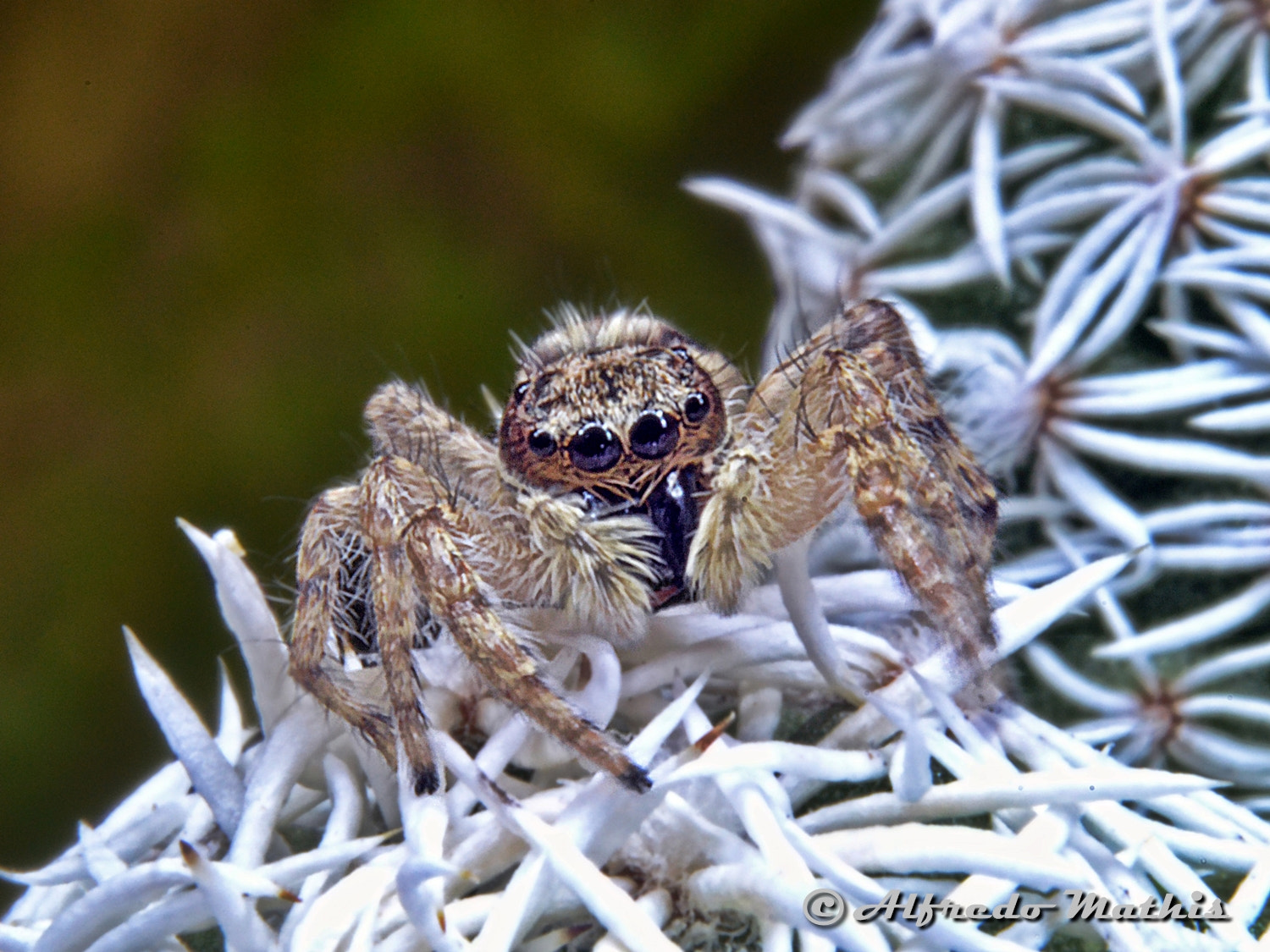 Photograph Aranha saltadora by Alfredo Mathis on 500px