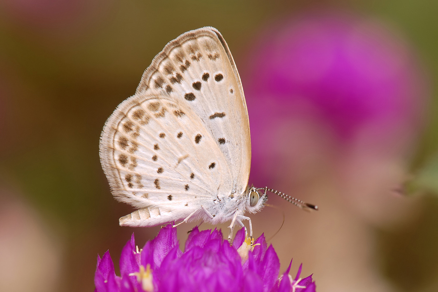 Photograph Pale Grass Blue by edmond lisy on 500px
