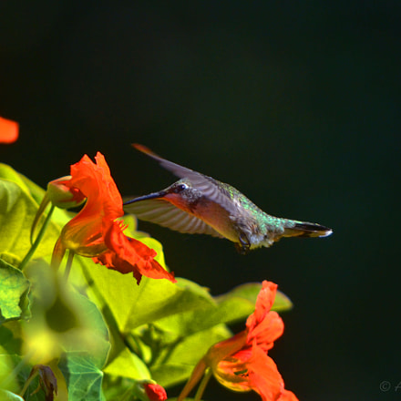 Hummer and flowers, Nikon D7000, PC Micro-Nikkor 85mm f/2.8D