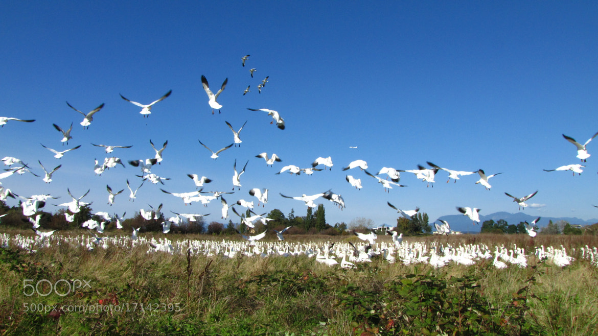 Photograph Snow Geese in BC 2 by Vladimir Cheinman on 500px