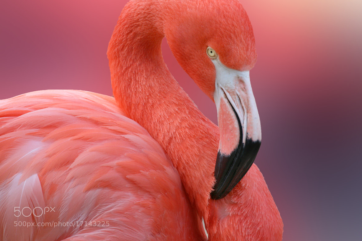 Photograph Flamingo by Laura Bellamy on 500px