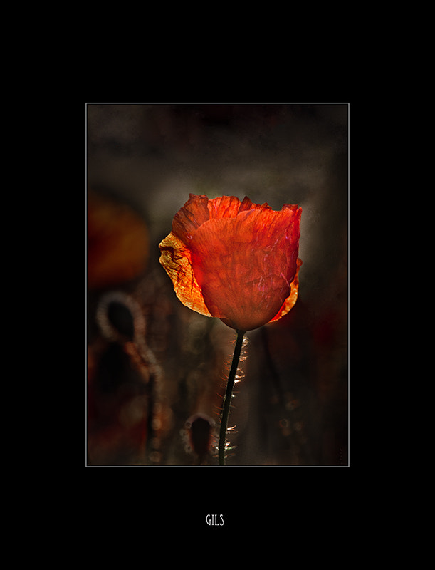 Photograph poppy portrait by Gilbert Claes on 500px