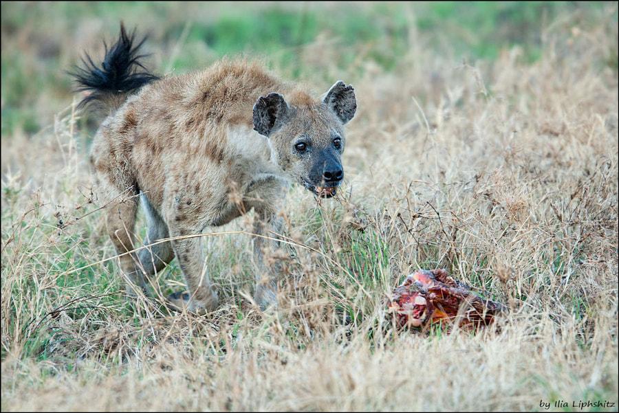 Hyenas of Serengeti №6