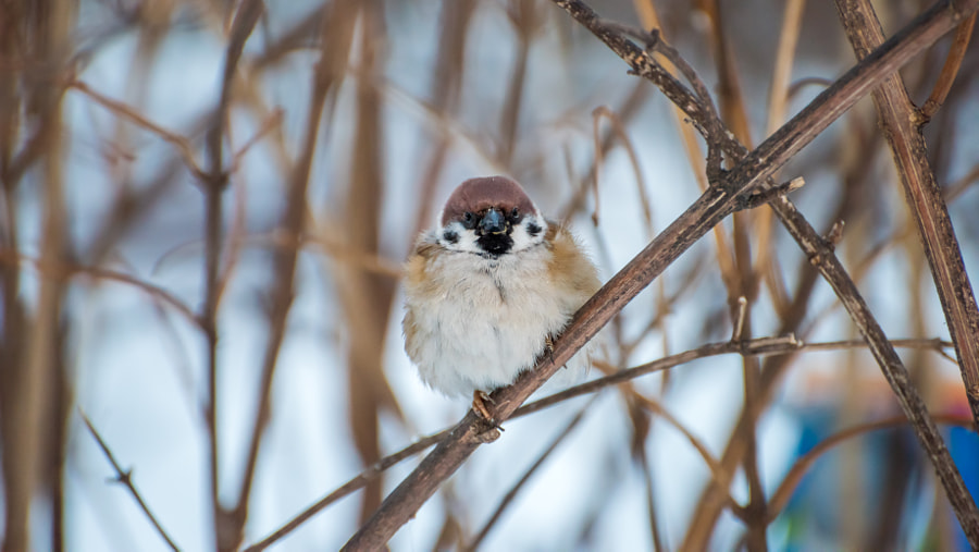 500px.comのVladimir LazarevさんによるSparrow in a bush a close up in winter