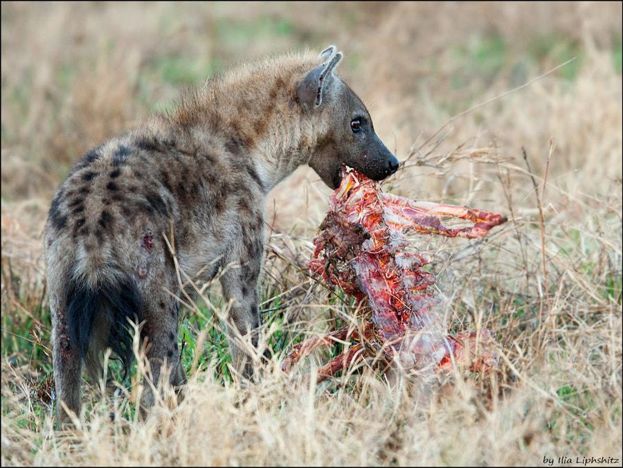 Hyenas of Serengeti №7