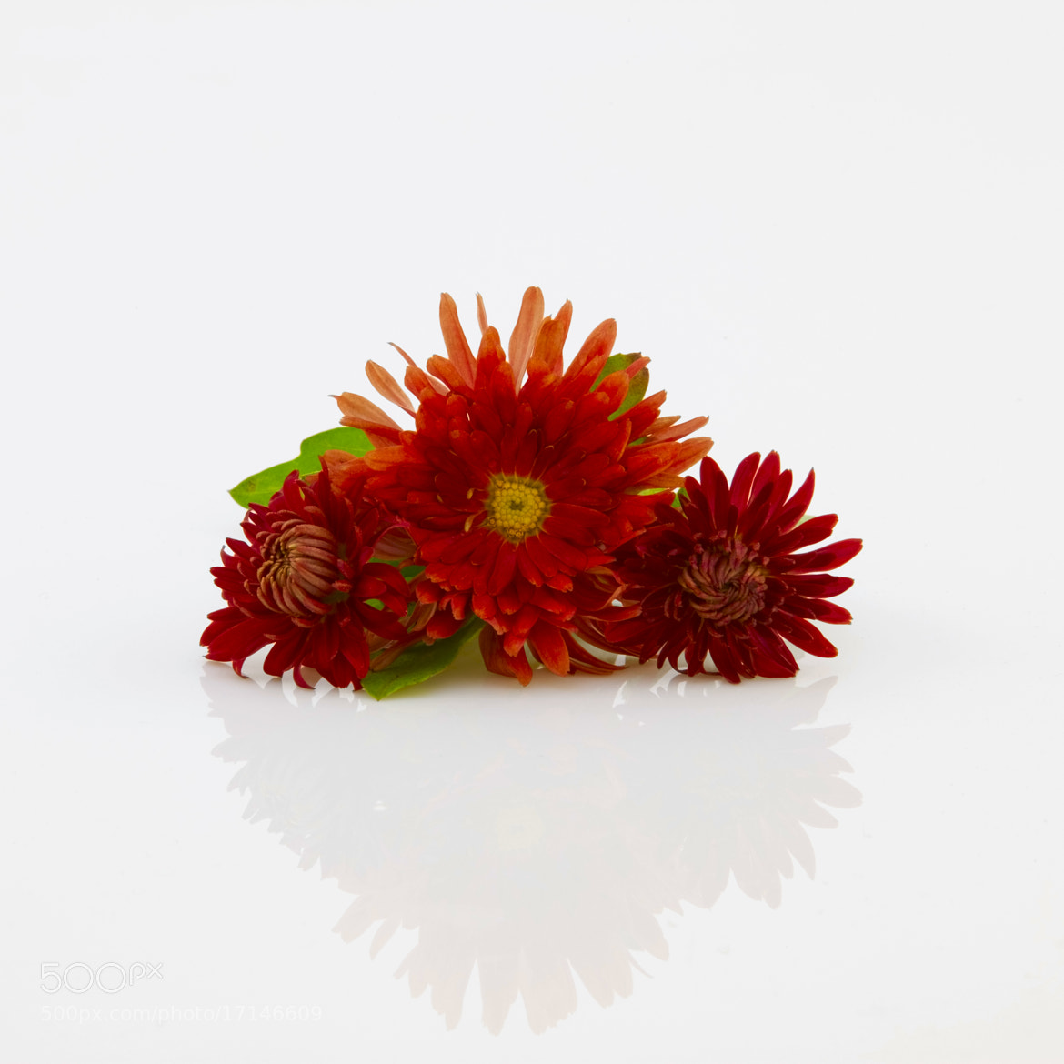 Photograph Composition of red chrysanthemums by Игорь Гончаренко on 500px