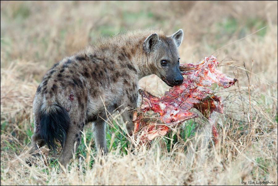 Hyenas of Serengeti №8