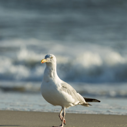 Gull at the beach, Canon EOS REBEL T3, Canon EF 100-400mm f/4.5-5.6L IS