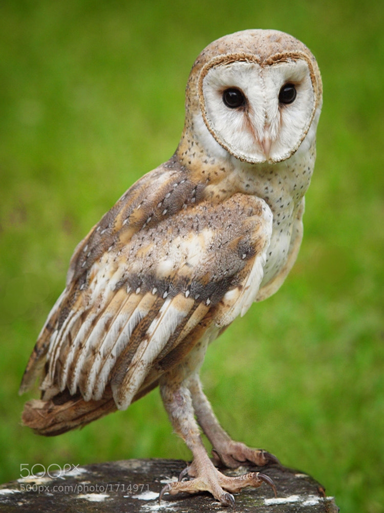 Photograph Tyto Alba by Irawan Subingar on 500px