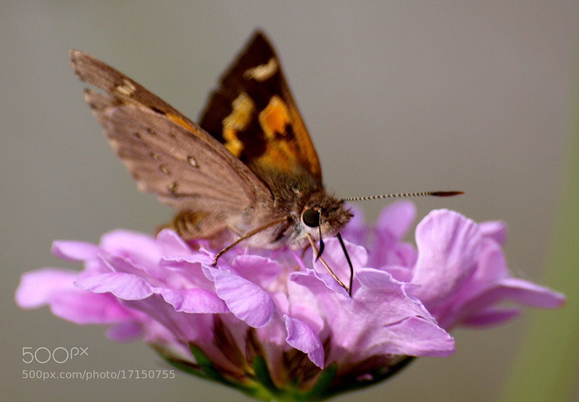 Photograph Butterfly by di  northey on 500px