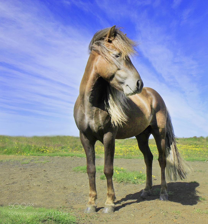 Photograph Beautiful Icelandic horse by Anna Guðmundsdóttir on 500px