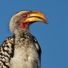 During our second morning game drive in the Motswari Private Game Reserve, we were fortunate enough to spot a pair of southern yellow-billed hornbills perched high in a tree.  Fortunately our vantage point was such that the warm morning light shone upon the hornbills.