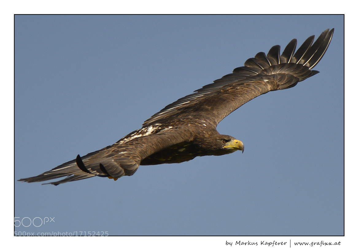 Photograph Eagle by Markus Kapferer on 500px