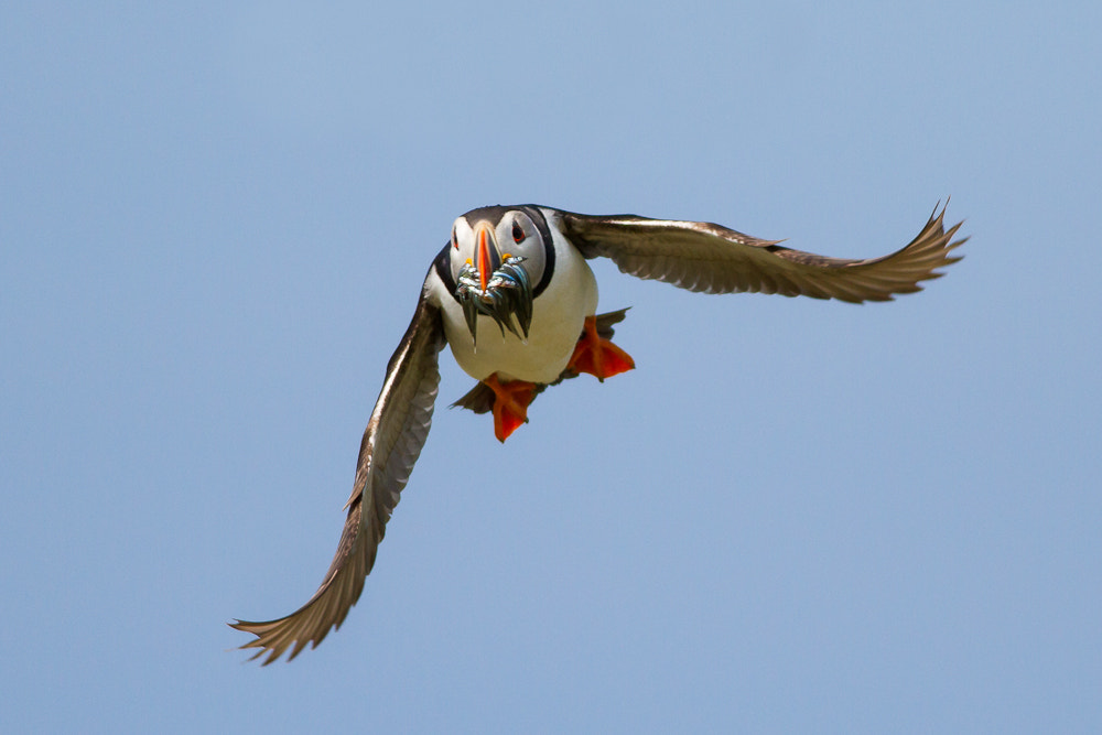 Photograph Puffin Crossfire by Mark Medcalf on 500px