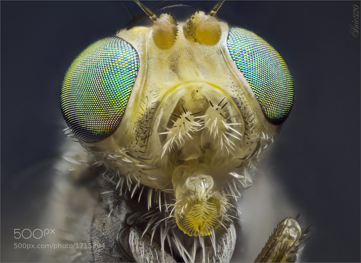 Photograph Because flies CAN be beautiful...!!! by Nicolas Reusens on 500px