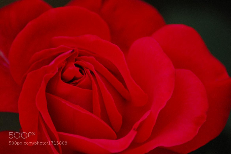Photograph Rose by Bogdan Trestianu on 500px