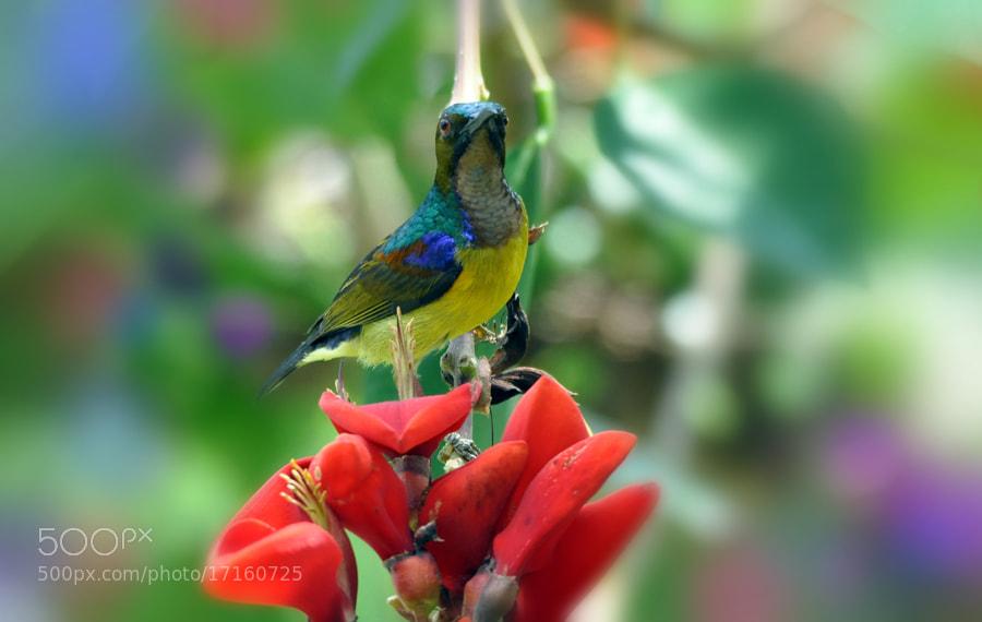 Photograph Sundbird n Flower by Khoo Boo Chuan on 500px