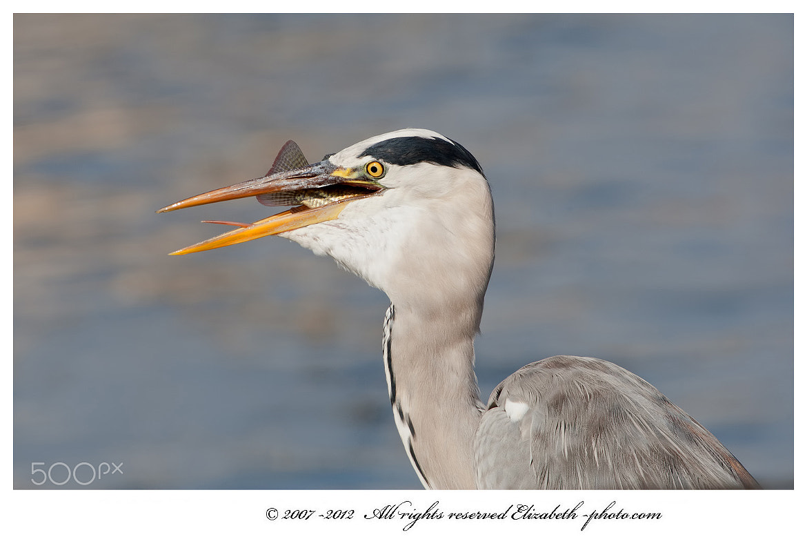 Photograph Grey Heron with fish by Elizabeth.  E. on 500px