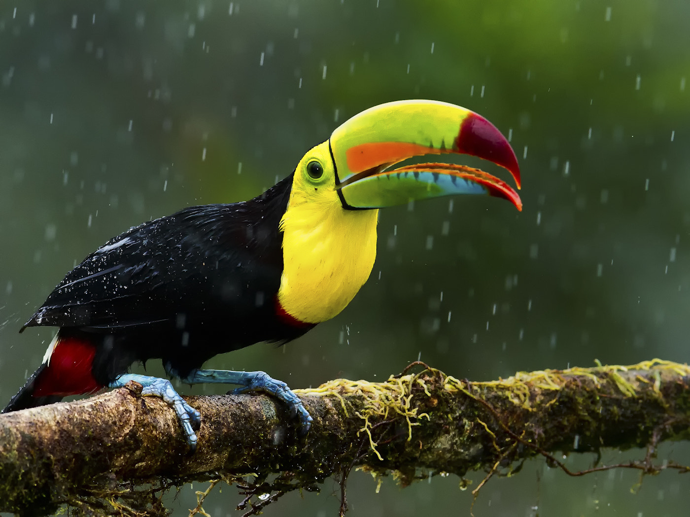Photograph Keel Billed Toucan