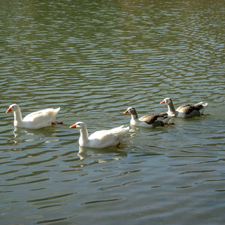 Pack of goose on, Sony DSC-W110