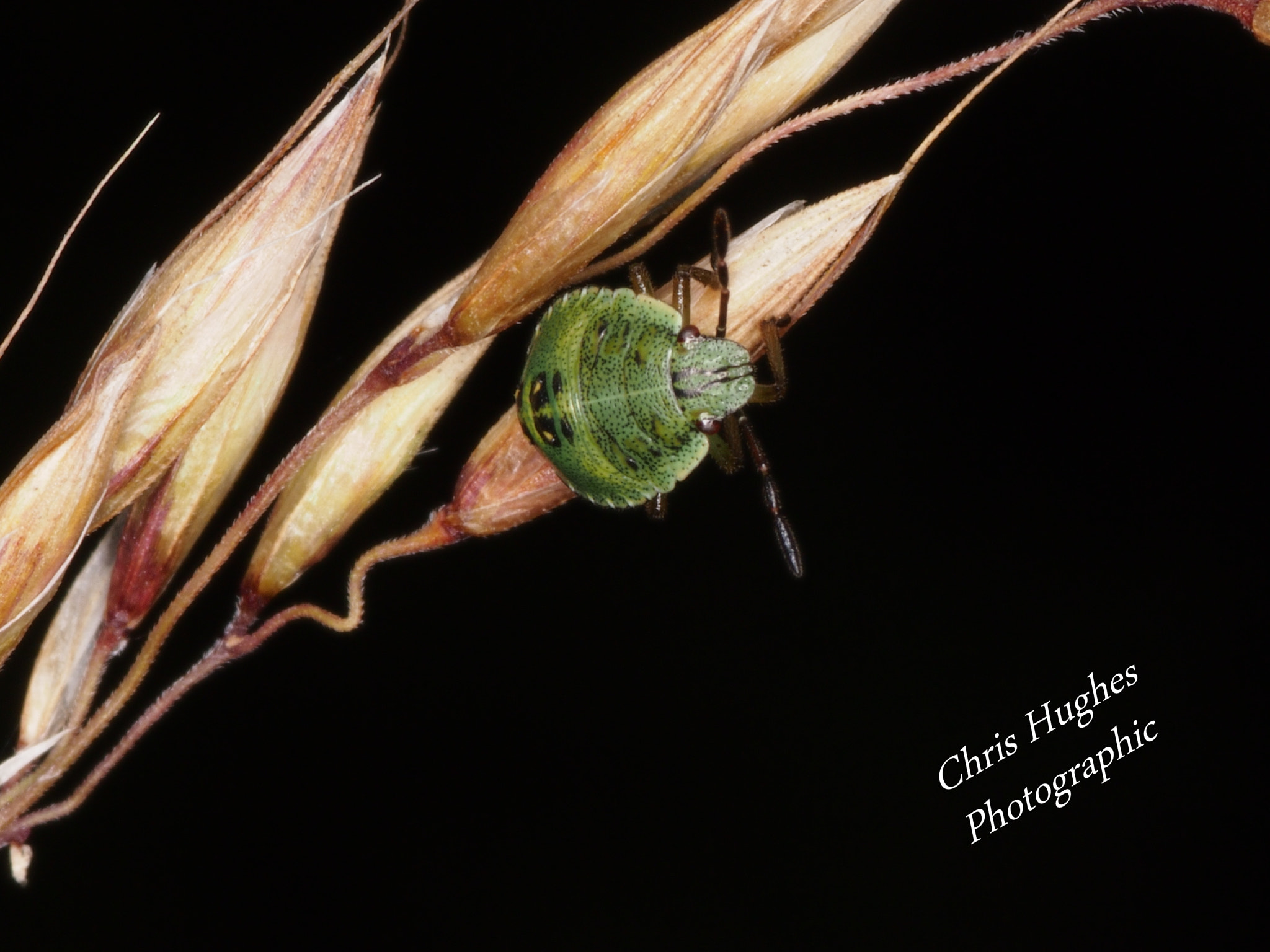 Photograph Woundwort Shieldbug by Chris Hughes on 500px