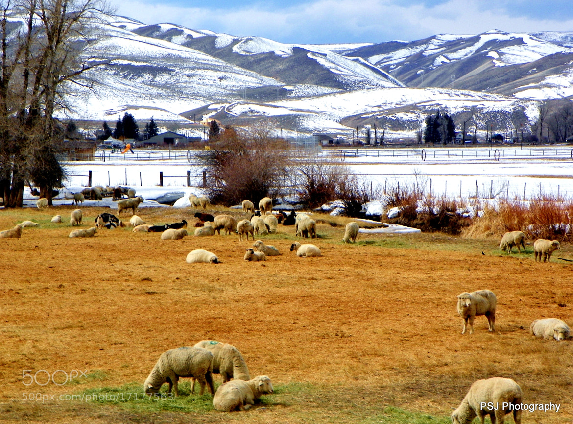 Photograph Sheep in Cokeville, Wyoming by Pam Jones on 500px
