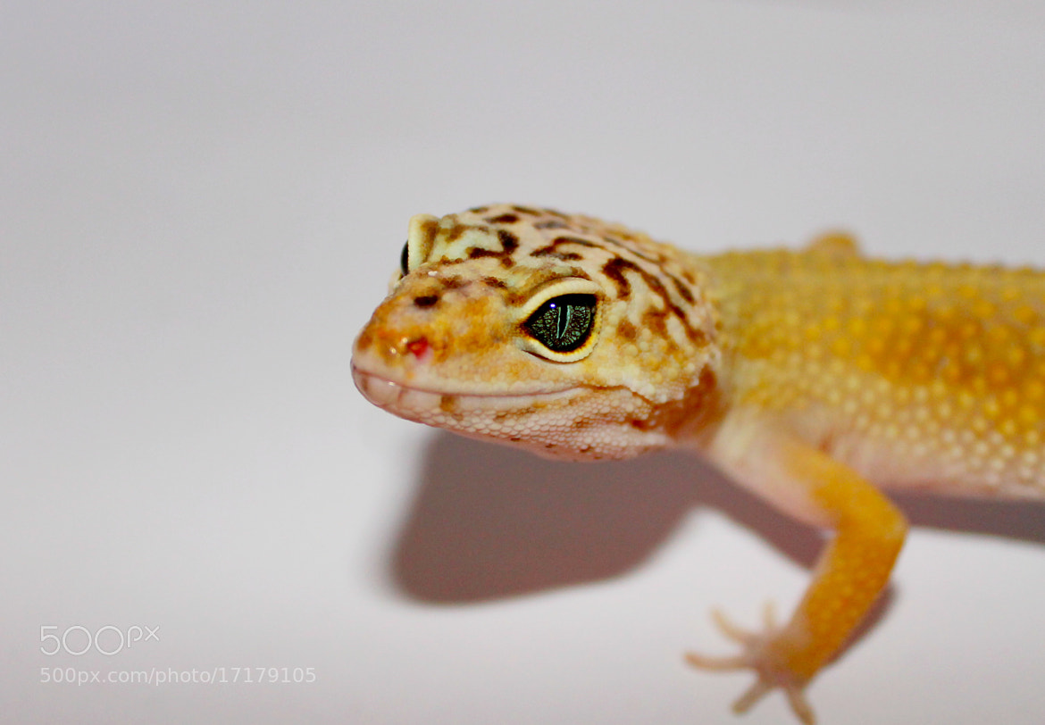 Photograph Leopardgecko by Marlon Roth on 500px