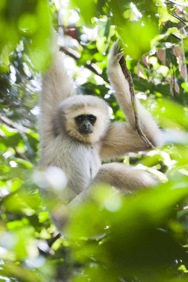 Photograph Lar Gibbon by Sam Rowley on 500px