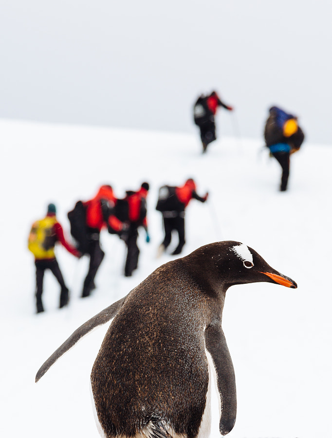 Gentoo Penguin by Andrew Peacock on 500px.com