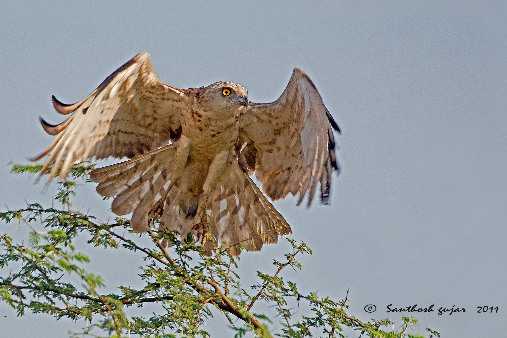 Photograph Short Toed Snake Eagle by Santhosh Gujar on 500px