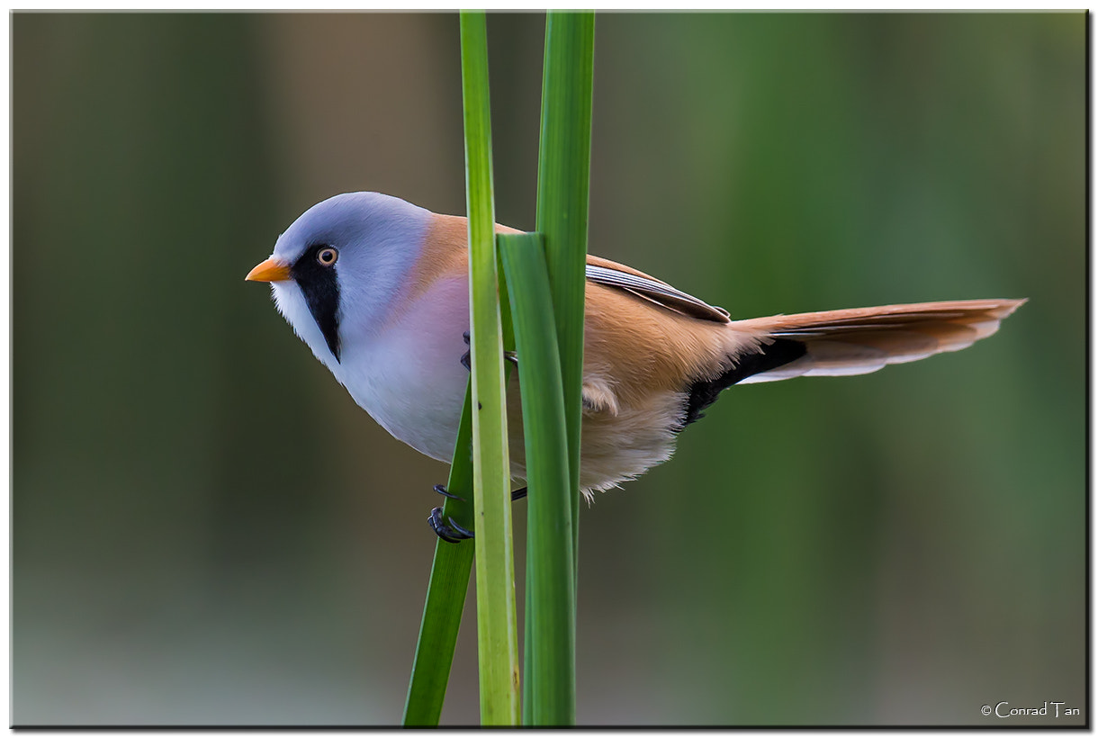 Photograph Bearded Tit by Conrad Tan on 500px