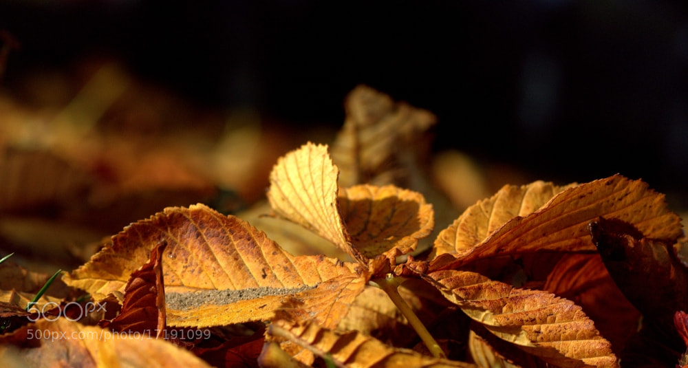 Photograph Autumn Leaf by Chrissie Barrow on 500px