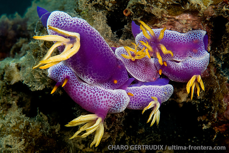 Photograph Nudibranch by Charo Gertrudix on 500px