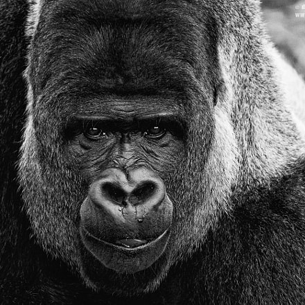 Gorilla Black and White, Canon EOS 40D