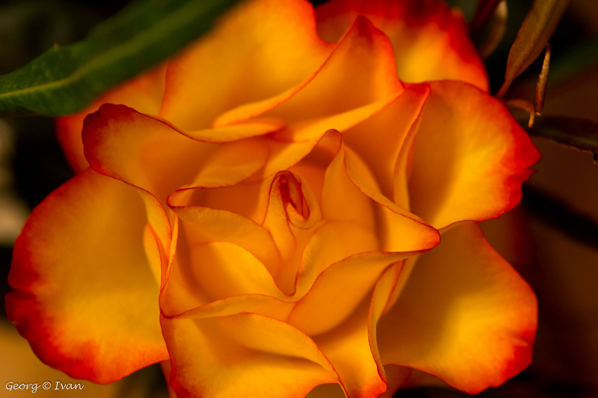Photograph Red Yello Rose II by Georg Ivan on 500px