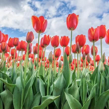 Red-Yellow Tulips