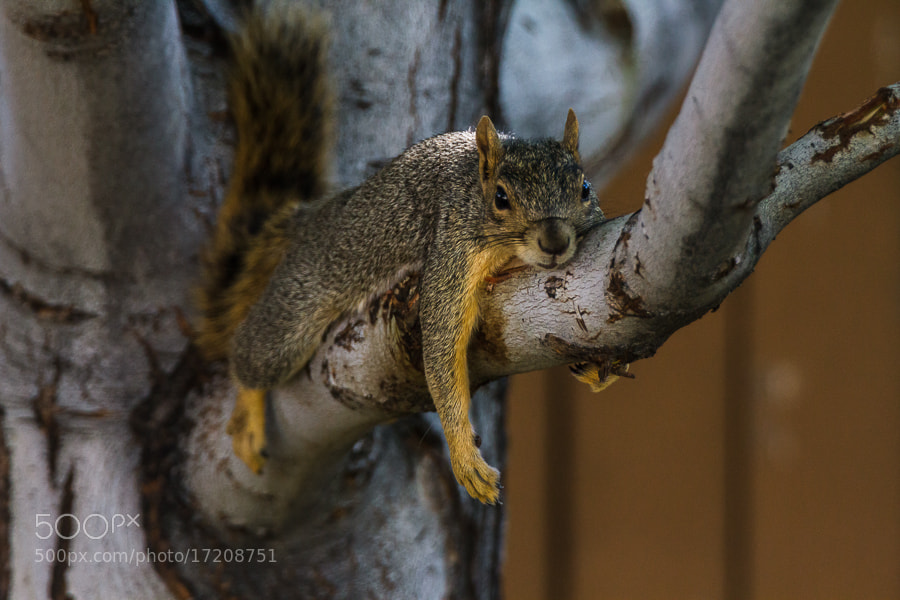 Photograph .: Lazy Sunday Squirrel :. by Jon Rista on 500px