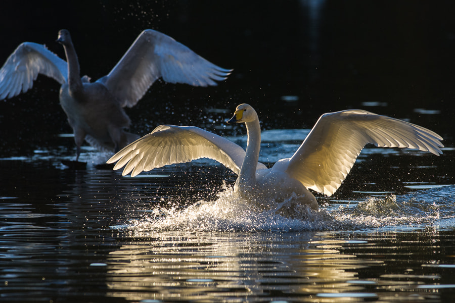 Photograph Swan by Kazuo Shinohara on 500px