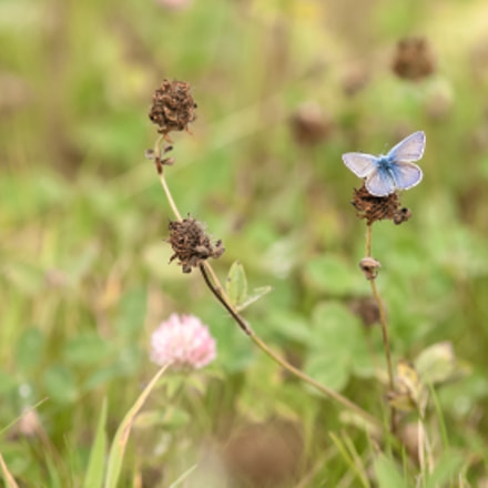 Common Blue, Canon EOS 5D, Canon EF 135mm f/2.8 Soft