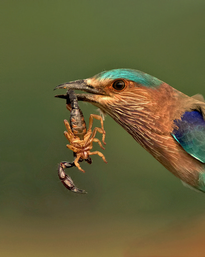 Photograph INDIAN ROLLER WITH SCORPION by Subramanniyan Mani on 500px