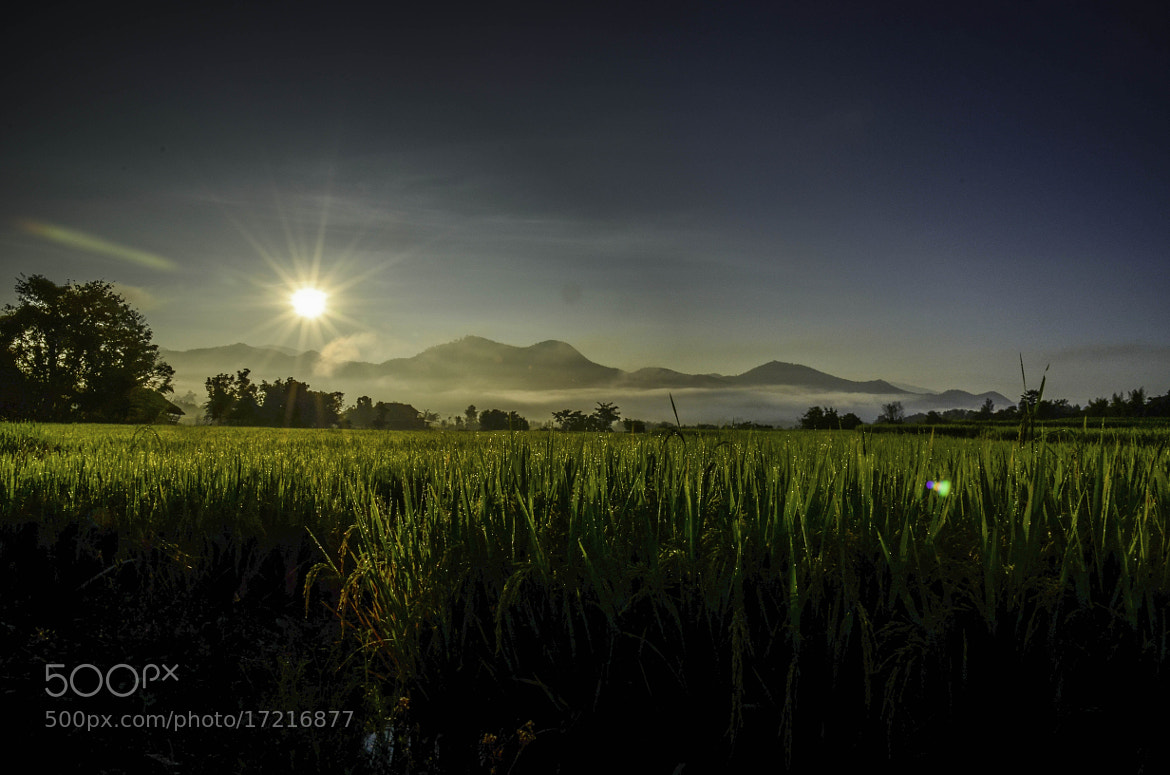 Photograph Rice field by Nuang Sangkhsri on 500px