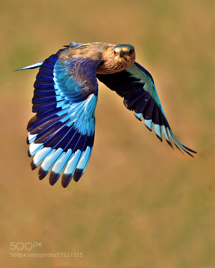 Photograph INDIAN ROLLER IN FLIGHT by Subramanniyan Mani on 500px